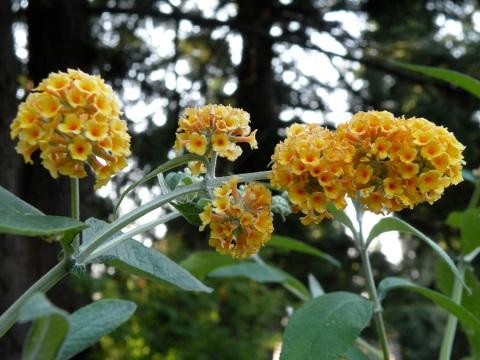 Yellow Butterfly Bush