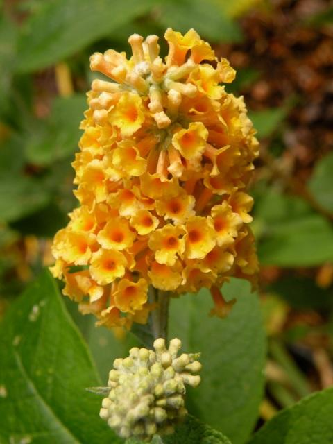 Buddleia davidii 'Harlequin', 'Honeycomb'