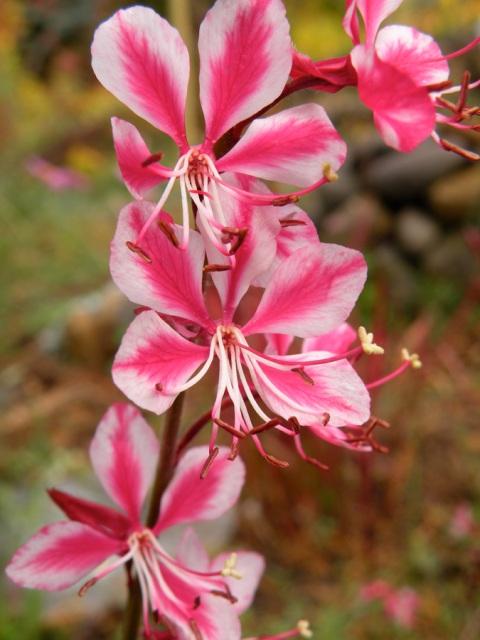 Gaura 'Siskiyou Pink'
