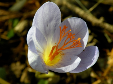 Fall Crocus