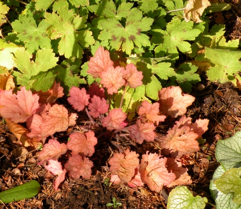 Heuchera.Peach.Flambe