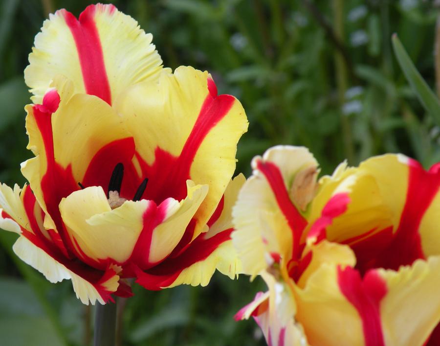 tulips | An Artist's Garden