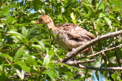 Steider Studios:  Baby Turkey in Tree