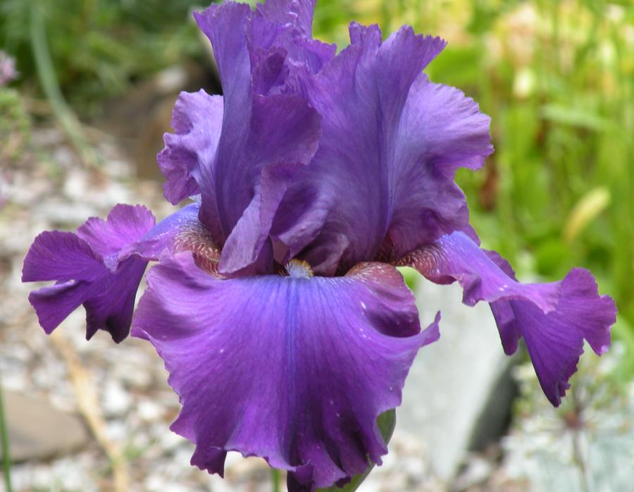 Tall bearded iris an artist 39 s garden - Belle de nuit plante ...