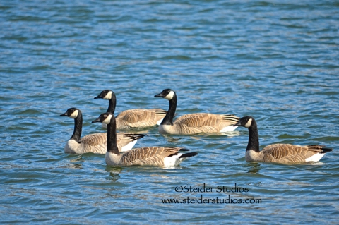 Steider Studios:  Group of Geese