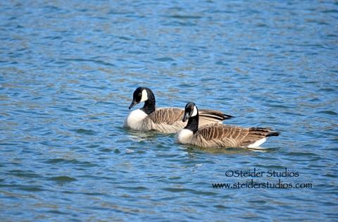Steider Studios:  Pair of Geese