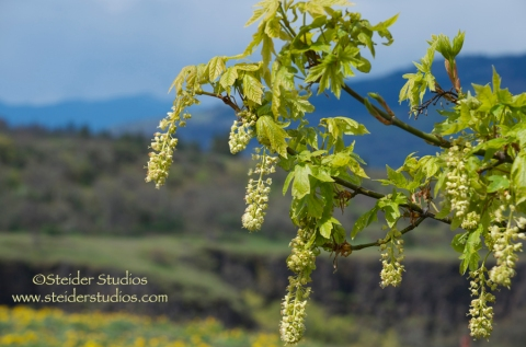 *Steider Studios.Blossom from Tree at Rowena Crest