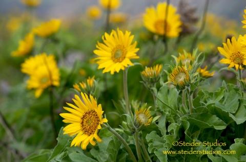 Steider Studios.  Wildflowers, Yellow Balsom Root