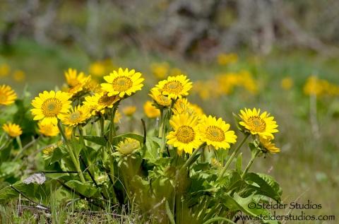 Steider Studios.Yellow.Wildflowers.Rowena Crest