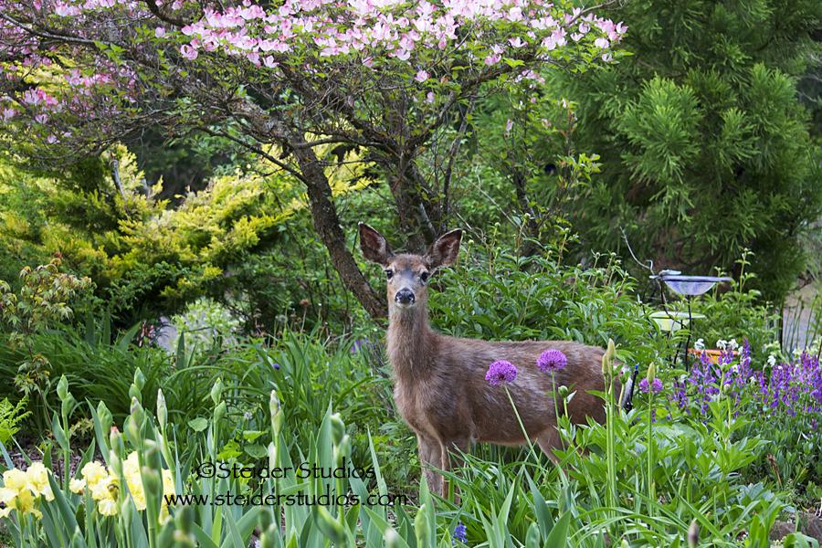 deer in my garden  u2013 again