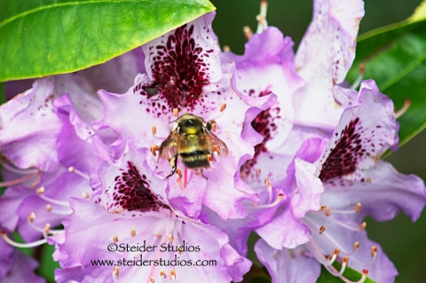 Steider Studios:  Bee on Rhodie