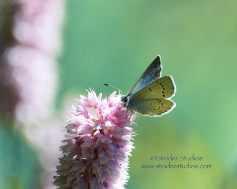 Steider Studios:  Blue Butterfly on Pink Flower