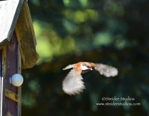 Steider Studios:  Chickadee flying from house