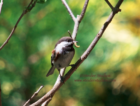 Steider Studios:  Chickadee with Worm