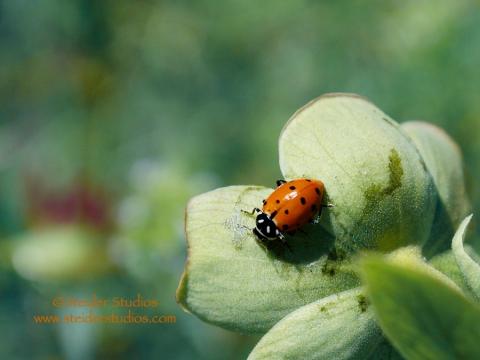 Steider Studios:  Ladybug
