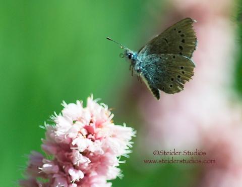 Steider Studios:  Moth Approaching Pink Flower