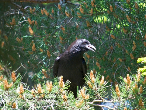 Steider Studios:  Raven in Trees