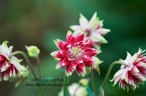 Steider Studios:  Red Double Columbine