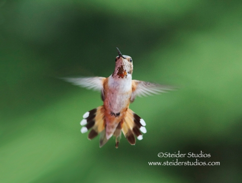 Steider Studios:  Rufous Hummer in Flight