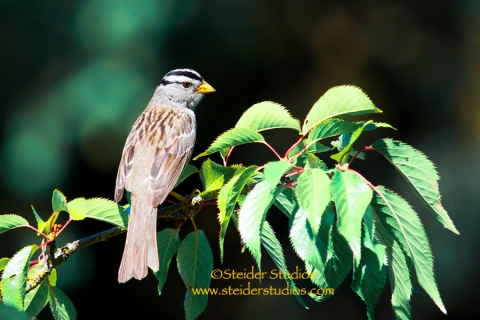 Steider Studios:  Sparrow