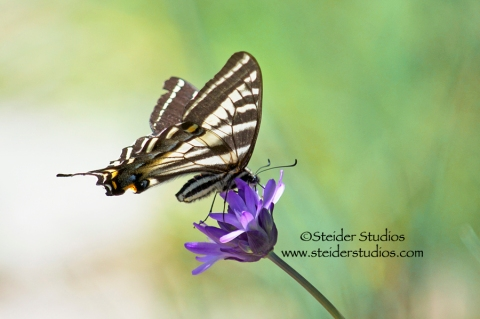 Steider Studios:  Profile of a Swallowtail on a Wild Lily