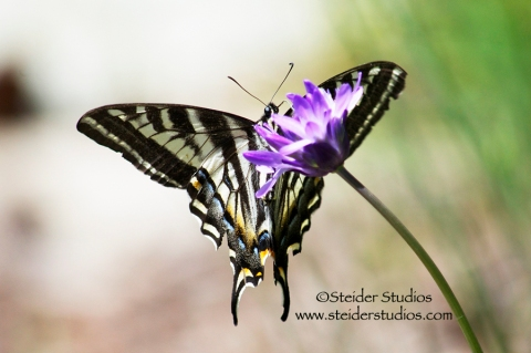 Steider Studios:  Swallowtail Butterfly on a Wild Lily Flower
