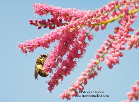 Steider Studios.Tiny Bee.Tamarix