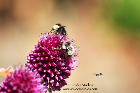 Steider Studios.Trio of Bees on Allium