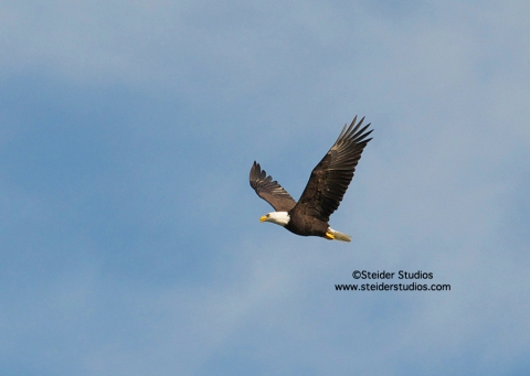 Steider Studios:  Eagle in Flight at Rowland Lake