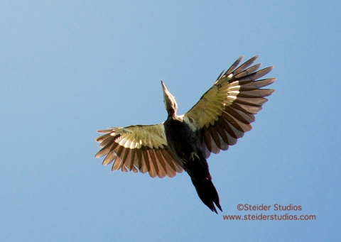 Steider Studios:  Pileated Woodpecker in Flight