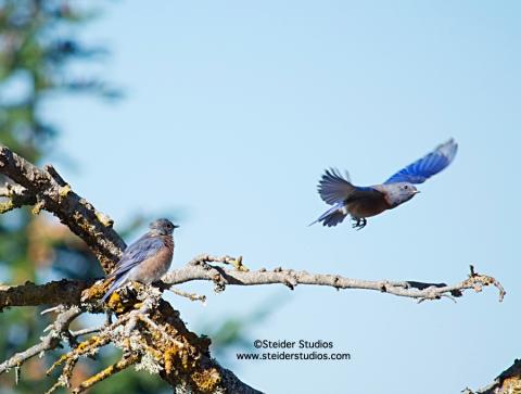 Steider Studios:  Western Bluebird Pair