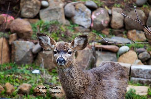 Steider Studios.Deer in Garden 3.11.14