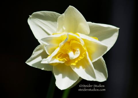 Steider Studios:  Daffodil.1