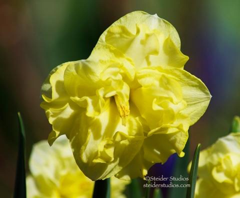 Steider Studios:  Daffodil 2