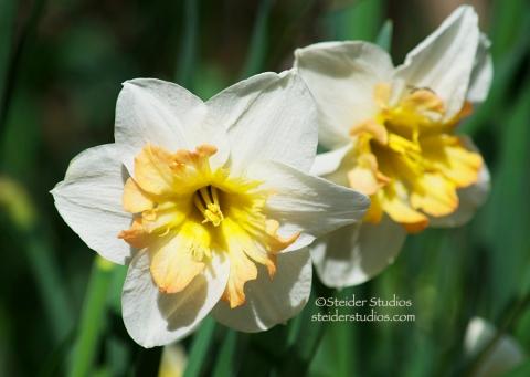 Steider Studios:  Daffodil 3