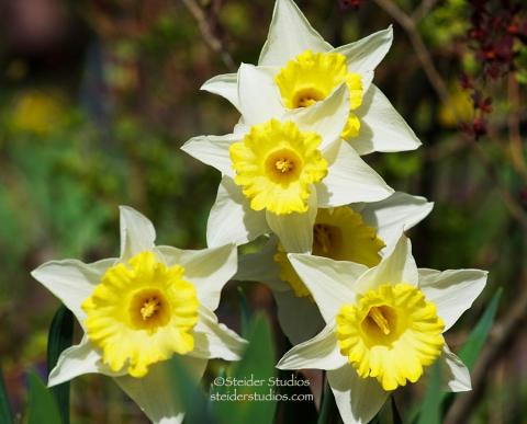 Steider Studios:  Daffodil Group