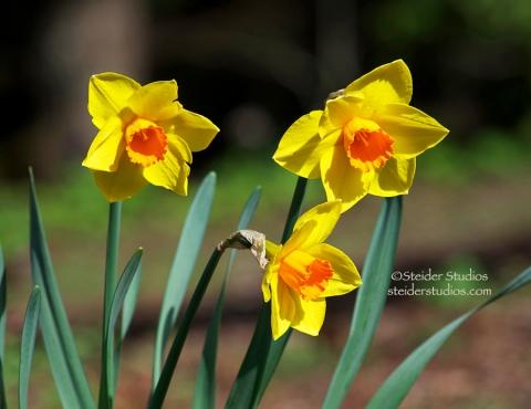 Steider Studios:  Daffodil 5