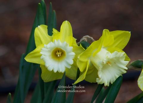 Steider Studios:  Daffodil Duo