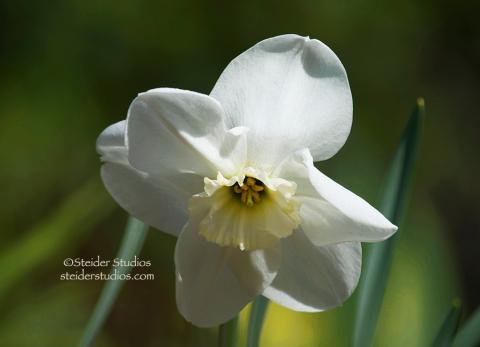 Steider Studios  White Daffodil