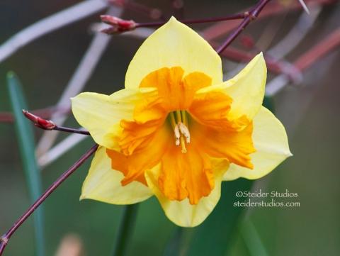 Steider Studios:  Butterfly Daffodil