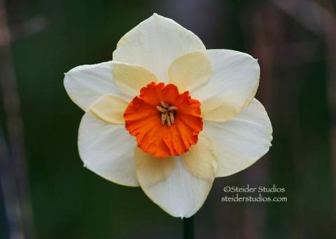 Steider Studios:  Daffodil