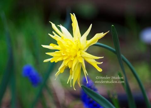 Steider Studios:  Daffodil Rip Van Winkle