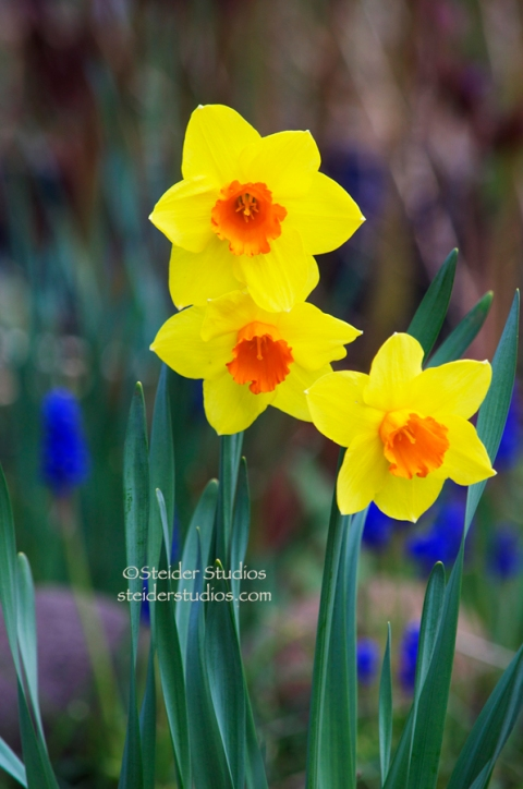 Steider Studios:  Daffodil Trio