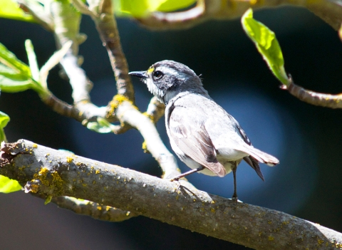 Steider Studios:  Black-throated Gray Warbler