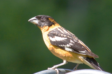 Steider Studios:  Black-headed Grosbeak