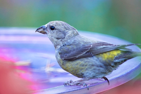 Steider Studios:  Female Crossbill