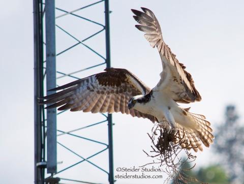 Steider Studios:  Osprey with Nest Material