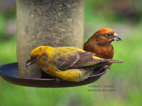 Steider Studios:  Pair of Red Crossbills at Feeder