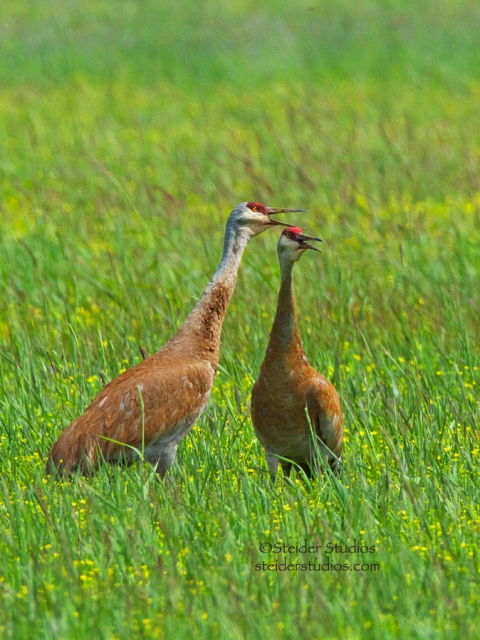 Steider Studios:  Pair of Sand Hill Cranes at Conboy National Wildlife Refuge