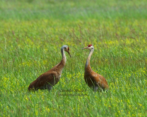 Steider Studios:  Sand Hill Cranes at Conboy National Wildlife Refuge